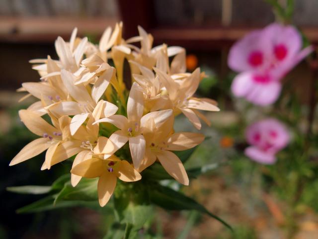 Collomia grandiflora (large-flowered mountain trumpet) and Clarkia amoena (farewell-to-spring)
