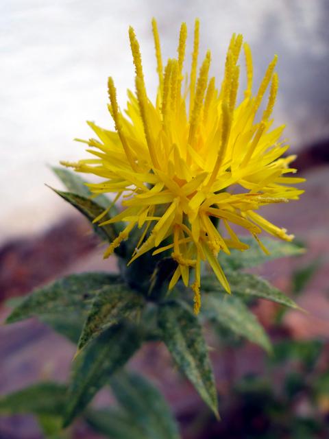 Helianthus annuus 'Dwarf Sungold' (dwarf sunflower)