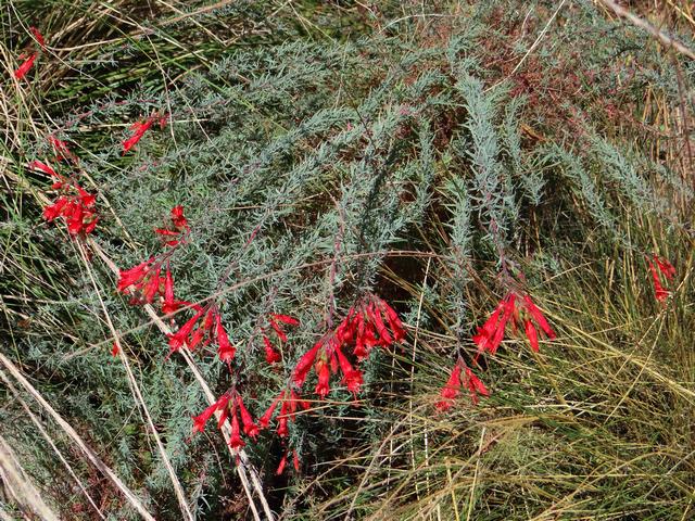 Epilobium canum (California fuchsia)