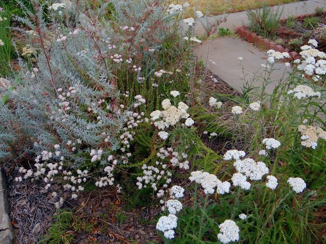 Eriogonum fasciculatum (Eastern Mojave buckwheat) with Achillea millefolium (yarrow)