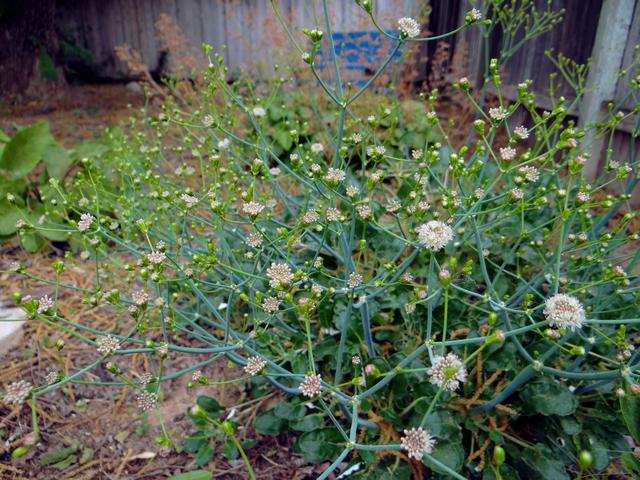 Eriogonum grande (island buckwheat)