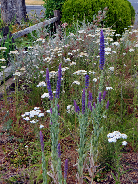Nepeta tuberosa (tuberous catmint) with Achillea millefolium (yarrow)