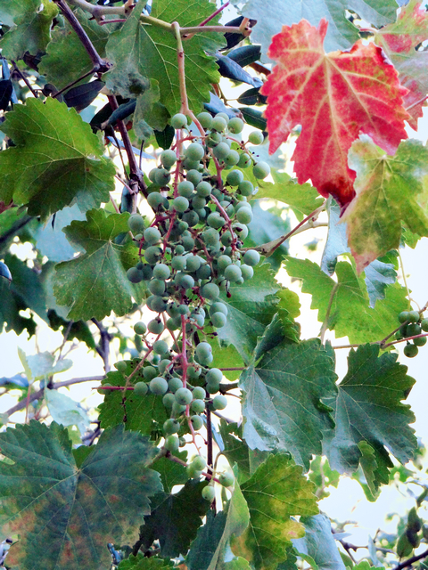 Tribute Trail grapes.jpg