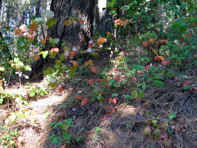 Tribute Trail poisonoak.jpg