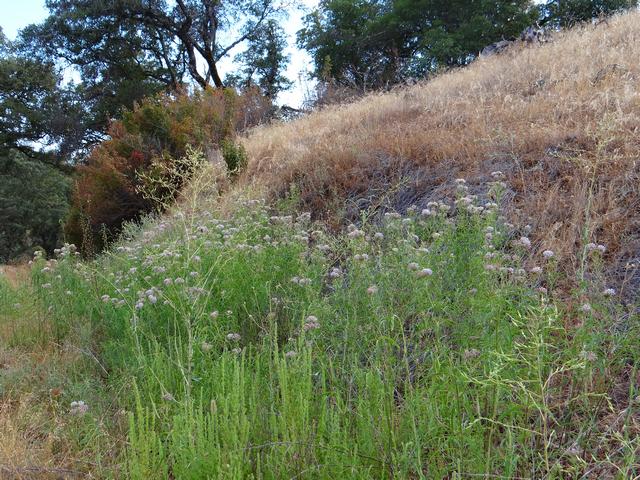Asclepias fascicularis (narrowleaf milkweed)