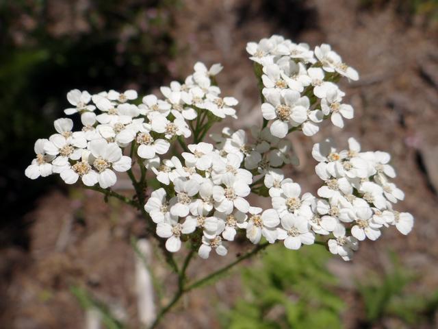 Achillea millefolium.jpg