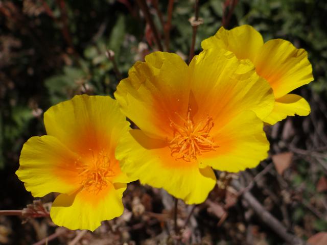 Eschscholzia californica.jpg