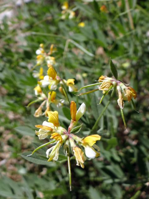 Hosackia oblongifolia.jpg