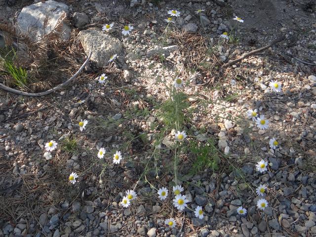 Matricaria chamomilla.jpg