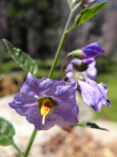 Solanum umbelliferum.jpg