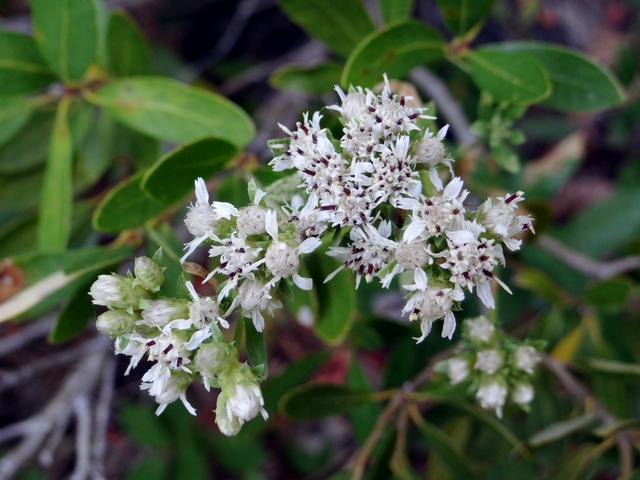 Sericocarpus oregonensis.jpg