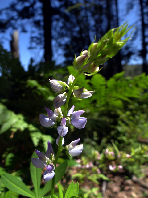 Lupinus polyphyllus.jpg