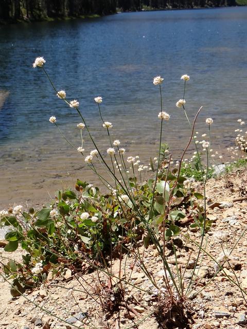 Eriogonum nudum.jpg