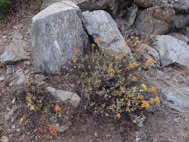 Eriogonum umbellatum.jpg
