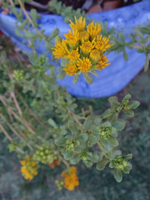 Isocoma menziesii (prostrate coastal goldenbush)