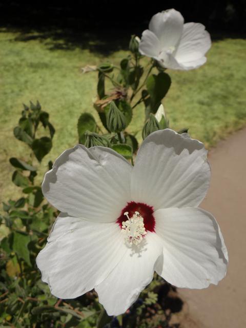 Hibiscus lasiocarpus (Sacramento rosemallow)
