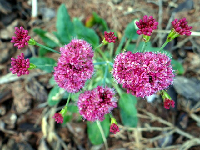 Erigonum grande (island buckwheat)