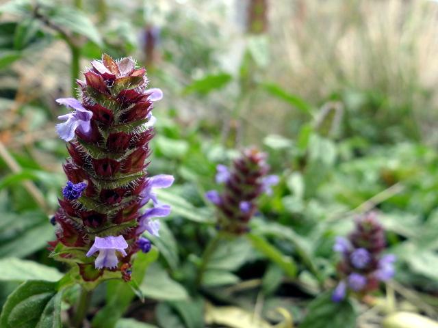 Prunella vulgaris (self-heal)