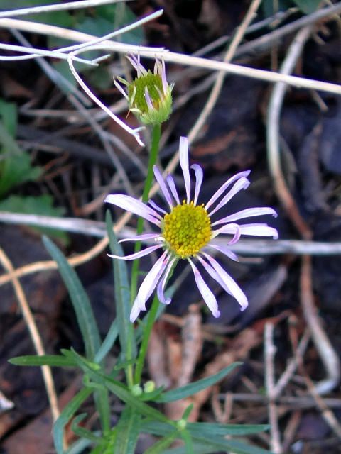 Erigeron foliosus (leafy fleabane)