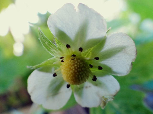 Fragaria vesca 'Golden Alexandria' (woodland strawberry)