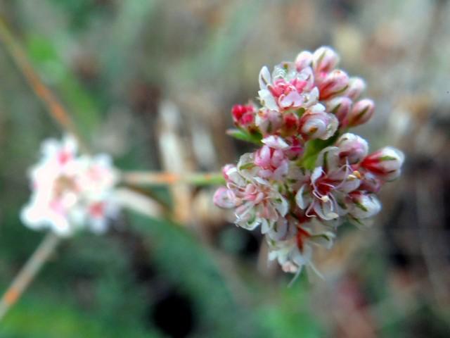 Eriogonum fasciculatum (Eastern Mojave buckwheat)