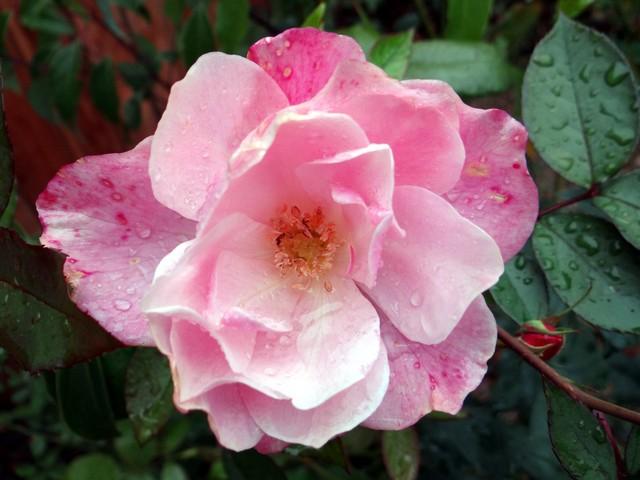 Rosa sp. (rose)