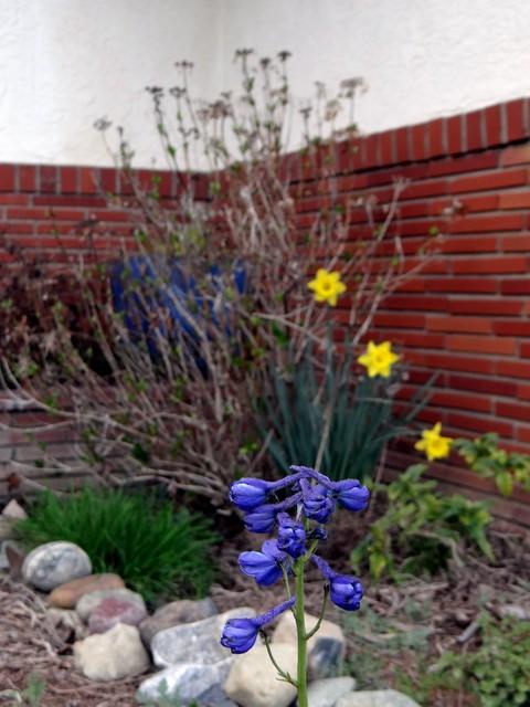 Delphinium belladonna 'Bellamosum' (hybrid larkspur) with Narcissus sp. (daffodil)