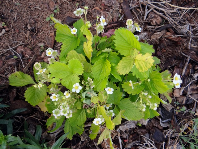Fragria vesca 'Golden Alexandria' (woodland strawberry)
