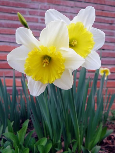 Narcissus sp. (daffodil)