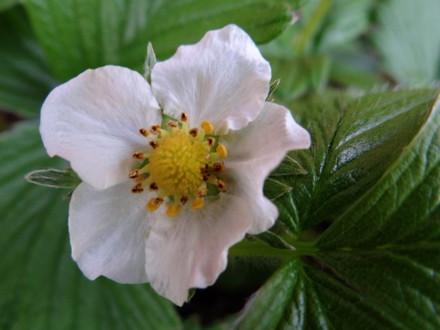 Fragaria vesca (woodland strawberry)