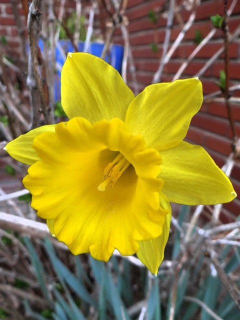 Narcissus sp. (daffodil)