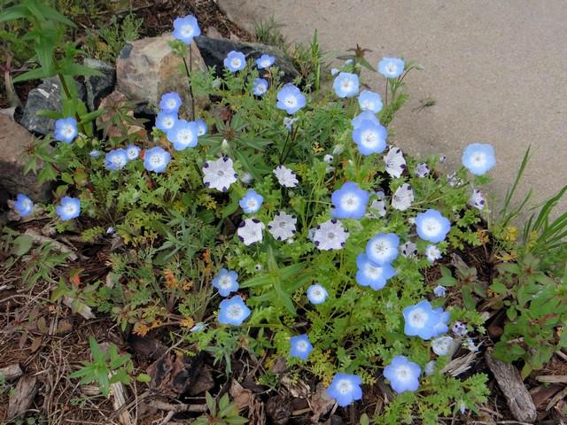 Nemophila menziesii (baby blue eyes), Nemophila maculata (five spot)