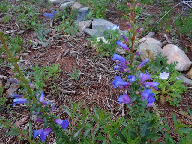 Penstemon heterophyllus 'Blue Springs' (foothill beardtongue), Ceanothus 'Joyce Coulter' (California lilac), Nemophila maculata (five spot)