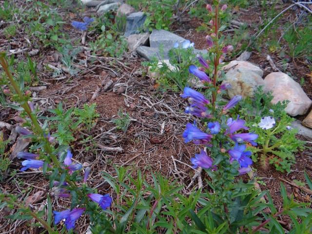Penstemon heterophyllus 'Blue Springs' (foothill beardtongue), Ceanothus 'Joyce Coulter' (California lilac), Nemophila maculata (five spot)