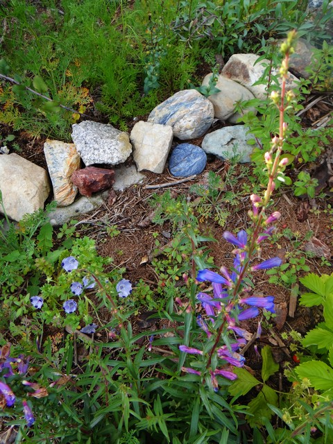 Penstemon heterophyllus 'Blue Springs' (foothill beardtongue), Nemophila maculata (five spot)