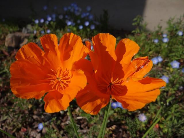 Eschscholzia californica (California poppy), Nemophila menziesii (baby blue eyes), Nemophila maculata (five spot)
