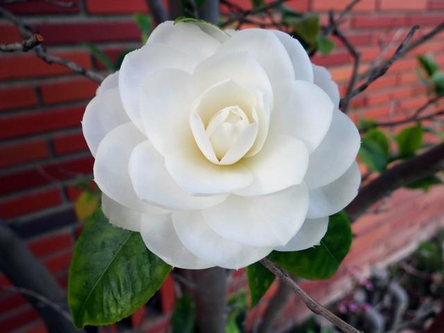 Camellia japonica (Japanese camellia)