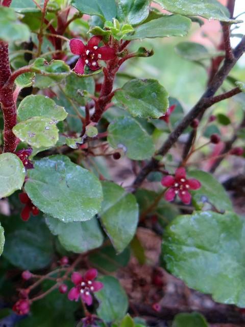 Ribes viburnifolium (evergreen currant)