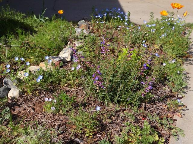 Penstemon heterophyllus 'Blue Springs' (foothill beardtongue), Eschscholzia californica (California poppy), Nemophila maculata (five spot)