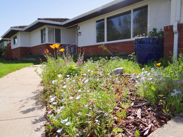 "Eschscholzia californica (California poppy), Penstemon heterophyllus ""Blue Springs"" (foothill beardtongue), Nemophila maculata (five spot)"