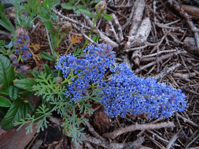 Ceanothus 'Joyce Coulter' (California lilac)
