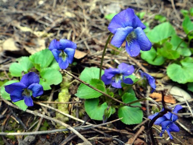 Viola sp. (wood violet)