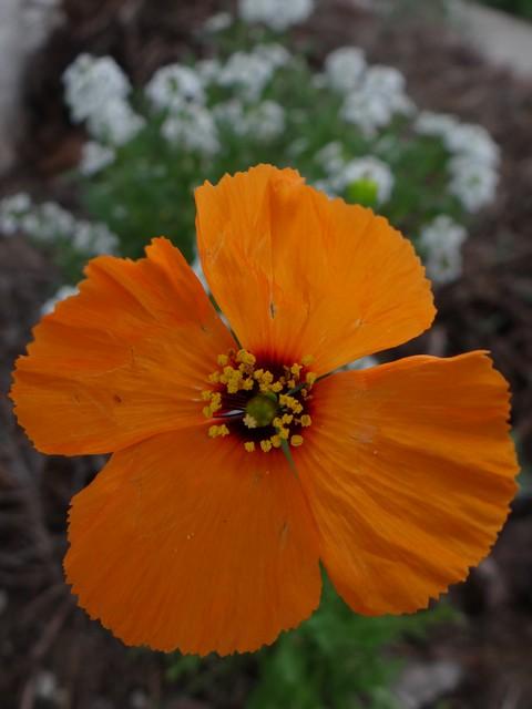 Stylomecon heterophylla (wind poppy)