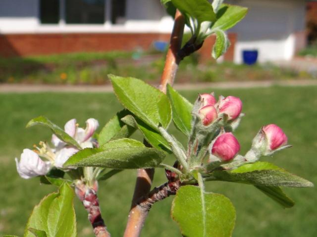 Malus pumila 'Gala' (Gala apple)