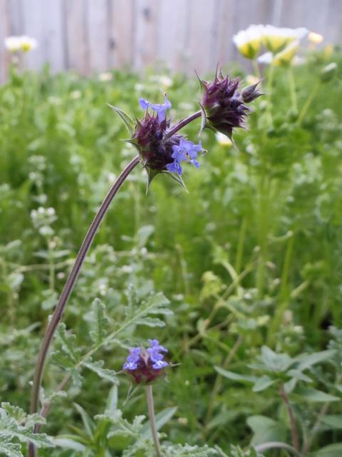 Salvia columbariae (chia)