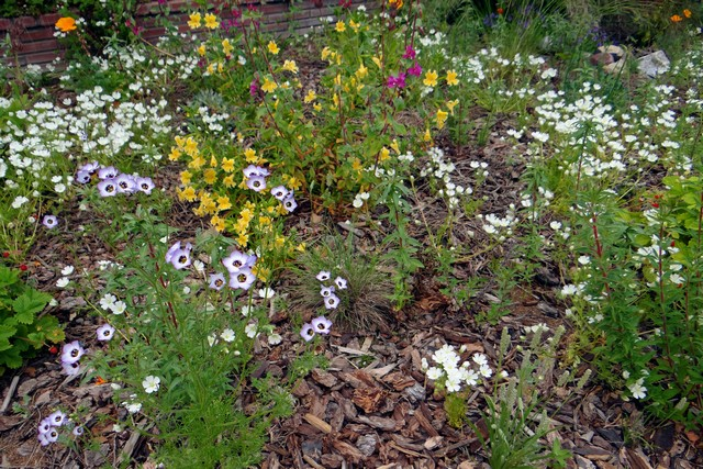 Gilia tricolor (bird's eyes), Mimulus aurantiacus (sticky monkeyflower), Limnanthes alba (white meadowfoam)