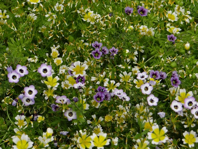 Gilia tricolor (bird's eyes) and Limnanthes douglasii (Douglas' meadowfoam)