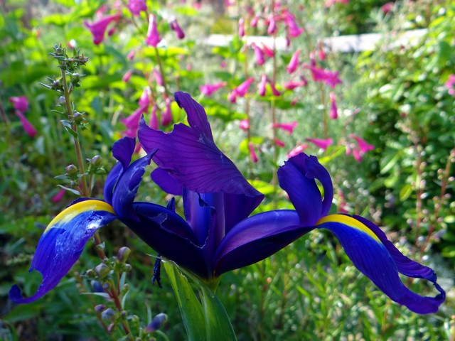 Iris × hollandica (Dutch iris) with Penstemon pseudospectabilis (desert beardtongue)