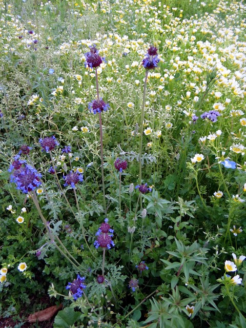 Salvia columbariae (chia) and Limnanthes douglasii (Douglas' meadowfoam)