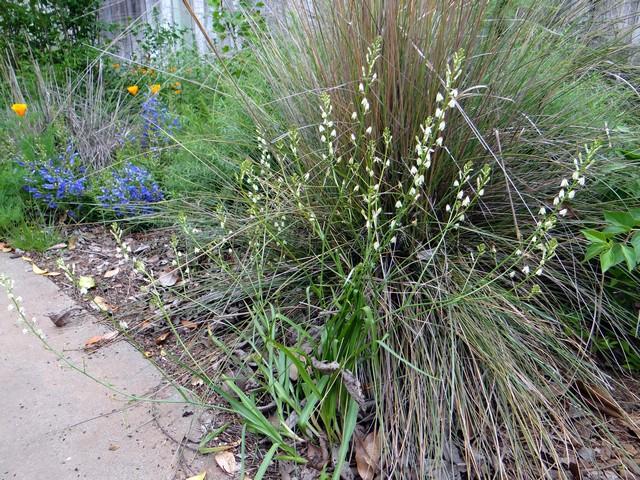 Odontostomum hartwegii (Hartweg's doll's-lily), Sporobolus airoides (alkali sacaton), Penstemon heterophyllus 'Blue Springs' (foothill beardtongue)